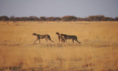 Zdjecie NAMIBIA / - / Park Narodowy Etosha / Przed polowaniem