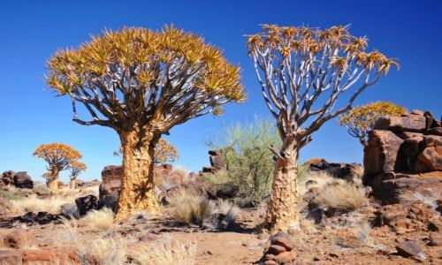Zdjecie NAMIBIA / - / Gariganus Farm / Las kołczanowy