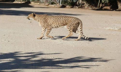 Zdjęcie NAMIBIA / Otjitotongwe Cheetah / Otjitotongwe / Gepard w całej okazałości