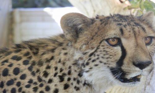 Zdjęcie NAMIBIA / Otjitotongwe Cheetah / Otjitotongwe / Buzie mam ładną