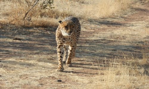 Zdjęcie NAMIBIA / Otjitotongwe Cheetah / Otjitotongwe / Dziki gepard