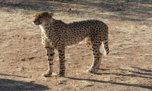 Zdjęcie NAMIBIA / Otjitotongwe Cheetah / Otjitotongwe / Piękny, dostojny