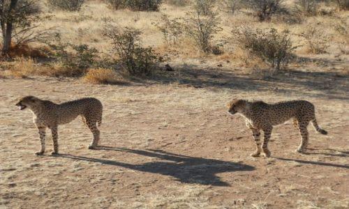 Zdjęcie NAMIBIA / Otjitotongwe Cheetah / Otjitotongwe / Ładna parka