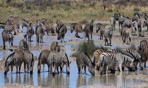 Zdjęcie NAMIBIA / Etosha National Park / Etosha / Przy wodopoju