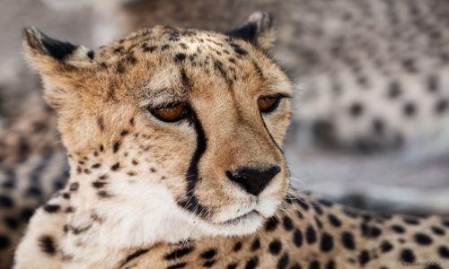 Zdjęcie NAMIBIA / Otjitotongwe / Otjitotongwe / Cheetah Farm
