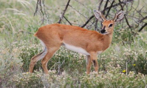 Zdjecie NAMIBIA / Etosha National Park / Etosha / Antylopa steenb