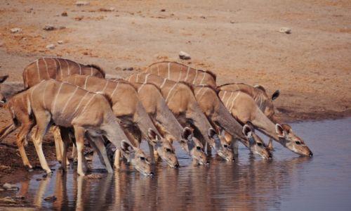 Zdjęcie NAMIBIA / Kunene / Park Narodowy Etosha / Kudu u wodopoju