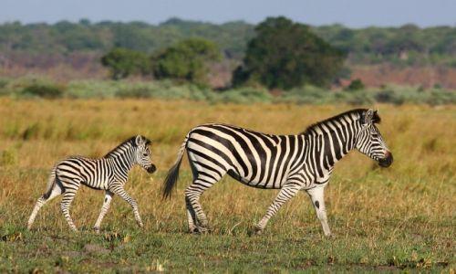 NAMIBIA / Caprivi / Kutima Mulilo / Zebry