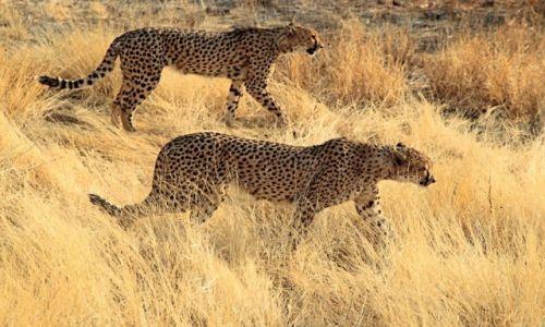 Zdjęcie NAMIBIA / - / Otjitotongwe / Geparty