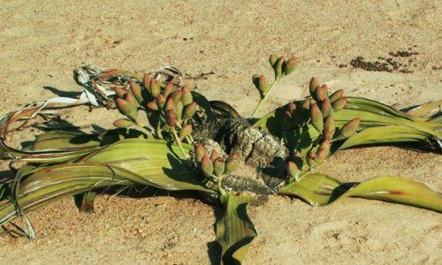 Zdjecie NAMIBIA / Sossuslei / Park Narodowy Nukluft / Kwiat pustyni