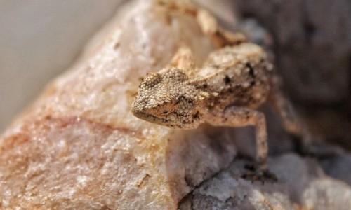 Zdjęcie NAMIBIA / Pustynia Namib / Sossusvlei / Lizard