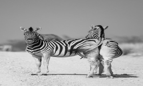 Zdjecie NAMIBIA / Etosha / Namutoni / Zebra dwie czy