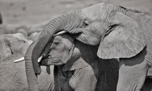 Zdjecie NAMIBIA / Etosza / Namutoni / Słoniowa miłość