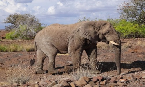 Zdjecie NAMIBIA / Etosha / 10 m od mojego namiotu / Słoń jaki jest... ale...