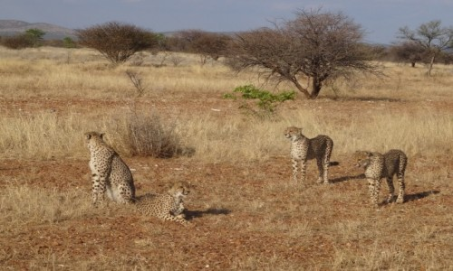 Zdjęcie NAMIBIA / Etosha / rezerwat / Gdy pojawiło się ich więcej, niektórym nie było już do smiechu :)