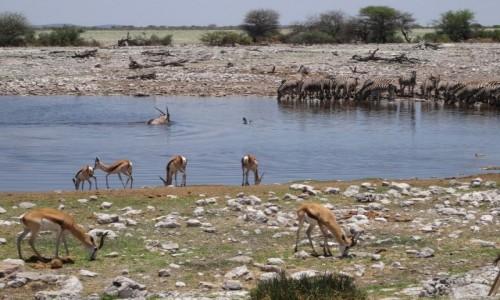 Zdjęcie NAMIBIA / Etosha / Przy wodopoju / Przy wodopojach ciagle zmieniały się stada zwierząt
