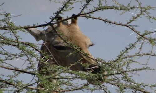 Zdjęcie NAMIBIA / Etosha / Gdzieś przy drodze / Jestem taka piękna...