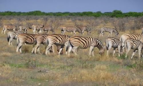 Zdjęcie NAMIBIA / Etosha / Na sawannie / Pupcie w paski