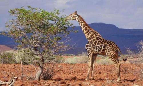 Zdjęcie NAMIBIA / Etosha / Gdzieś przy drodze / No dobrze, żyrafa