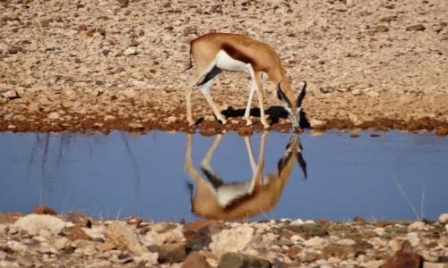 Zdjęcie NAMIBIA / Etosha / Mały wodopój / Urocze springboki