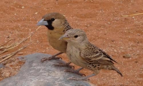Zdjęcie NAMIBIA / Kaokoland / gdzies po drodze / Pan i pani wikłacz