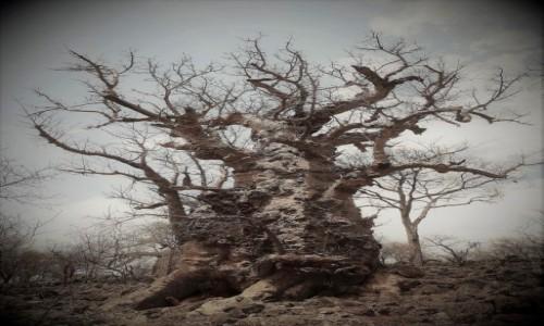 Zdjecie NAMIBIA / Namibia północna / gdzieś po drodze / czy z nadejściem deszczów wypuści jeszcze zielone liście?