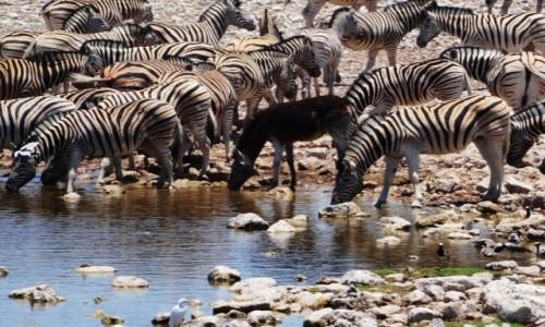 Zdjęcie NAMIBIA / Etosha / Wodopój przy kempingu Okaukejo / Czarna owca (?)