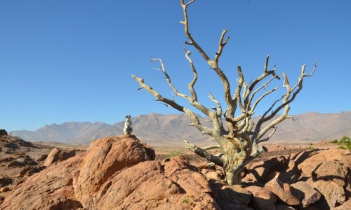 Zdjecie NAMIBIA / Pustynia Namib / oaza / Surykatka