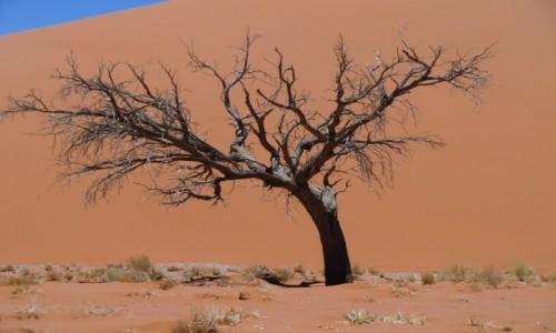 NAMIBIA / Pustynia Namib / Dolina Śmierci / drzewo