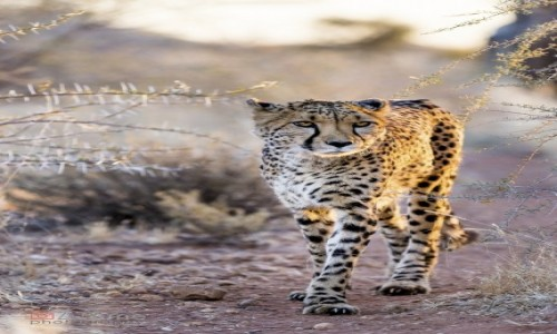 NAMIBIA / - / Kalahari / Idę po Ciebie