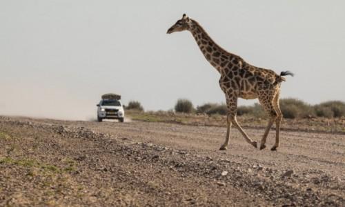 Zdjecie NAMIBIA / Kunene / Kamanjab Desert / Gracja