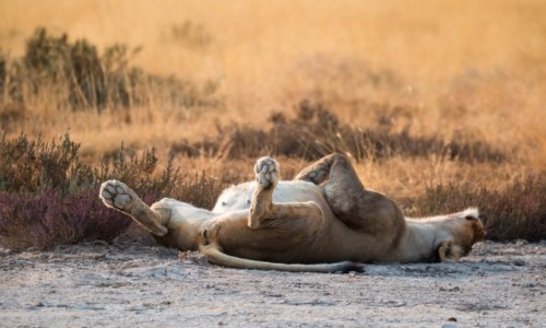 Zdjecie NAMIBIA / Kunene / Etosha National Park / Sweet dreams
