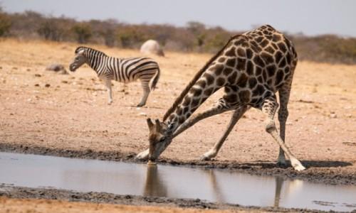 Zdjecie NAMIBIA / Kunene / Etosha National Park / Pijąca żyrafa