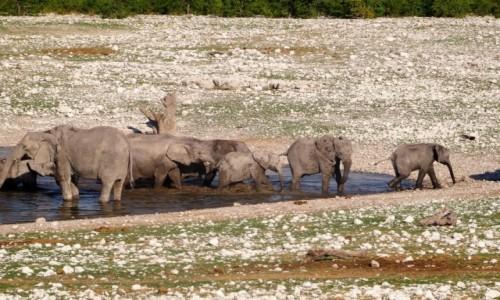 Zdjecie NAMIBIA / PN ETOSHA / teren parku / Gdy nadjechaliśmy stadko słoni radośnie taplało się w wodzie