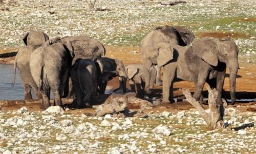 NAMIBIA / PN ETOSHA / teren parku / Na nasz widok starsze słonie natychmiast osłoniły maluchy