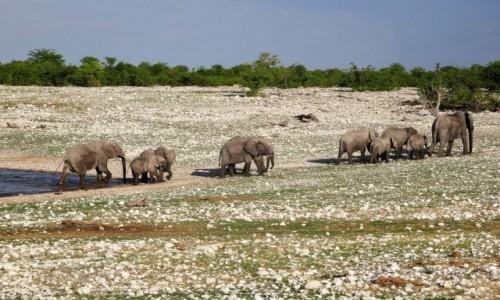 Zdjecie NAMIBIA / PN ETOSHA / teren parku / Na znak dany przez przewodniczkę stado zaczęło opuszczać jeziorko