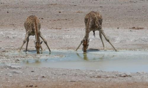 NAMIBIA / Park Etosha / bajorko / joga