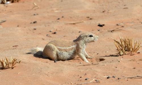 Zdjecie NAMIBIA / Park Narodowy Namib / Kemping w Sesriem / Świstak afrykański