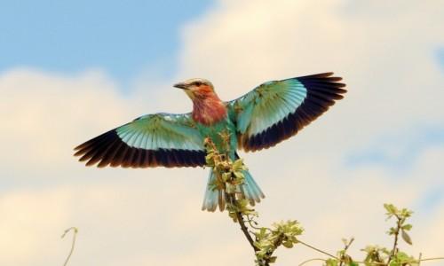 Zdjecie NAMIBIA / Etosha / Park Narodowy Etosha / Rozpostarte skrzydła