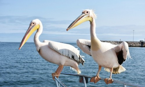 NAMIBIA / Zachodnia Namibia / Zatoka Walvis Bay / Koledzy ze szkolnej ławki