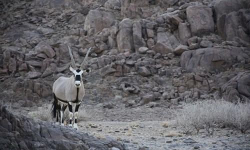 NAMIBIA / Zachodnia Namibia / Gdzieś w drodze / Mistrz przetrwania