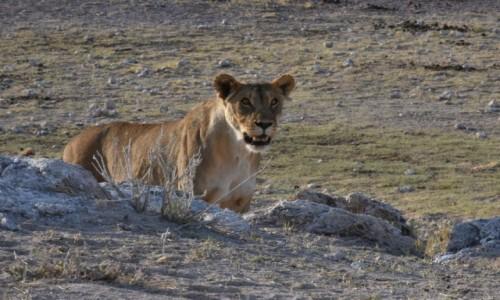 NAMIBIA / Północna Namibia / Park Narodowy Etosha / Lwica