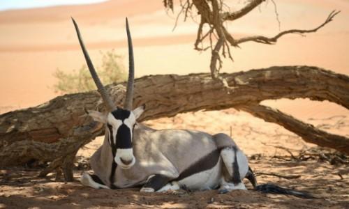 NAMIBIA / pustynia Namib / pu / Oryx
