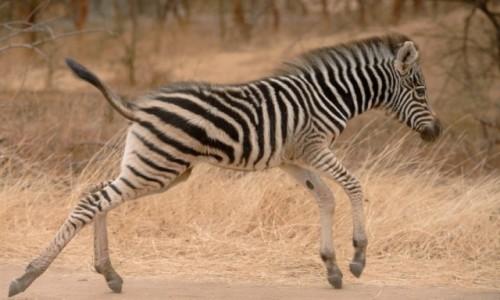 Zdjęcie NAMIBIA / Północny / Etosha National Park / Przez pasy na drugą stronę
