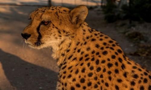 Zdjecie NAMIBIA / - / Otjitotongwe / Otjitotongwe Cheetah Farm