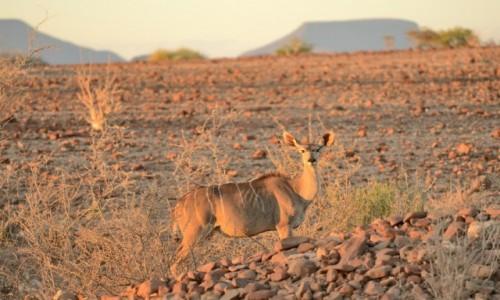 Zdjecie NAMIBIA / Ovamboland / gdzieś przy drodze / Kudu