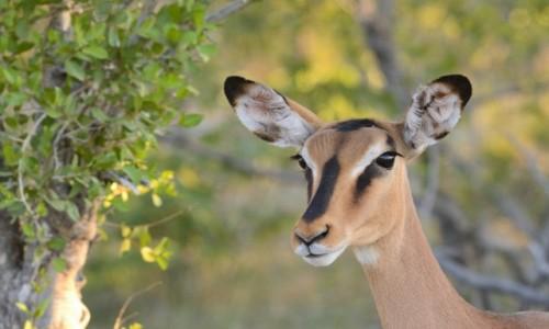 NAMIBIA / Etosha NP / Etosha NP / Nasłuch