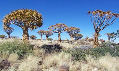 NAMIBIA / brak / okolice Keetmanshop / Las drzew ko�czanowych (quivera tree)