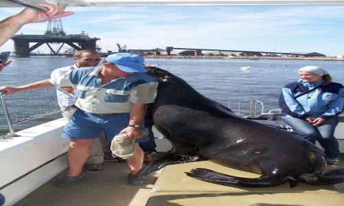 Zdjecie NAMIBIA / brak / zatoka Walvis Bay / przytulanki uchatki z kapitanem