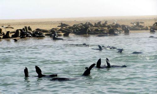 NAMIBIA / brak / zatoka Walvis Bay / focze przedszkole